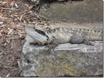Dragon Australiano